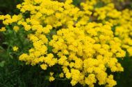 Alyssum Mountain Gold 100 Seeds- Sweetly Scented, Great Cover